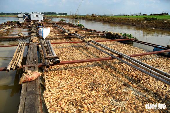 Cá lồng bè chết trắng sông La Ngà đã lên đến gần 1.000 tấn - Ảnh 1.