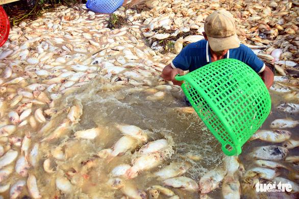 Cá lồng bè chết trắng sông La Ngà đã lên đến gần 1.000 tấn - Ảnh 3.