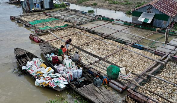 Ngư dân làng bè La Ngà thất thần bán tháo cả ngàn tấn cá lăng, leo... 2.000 đồng/kg - Ảnh 1.