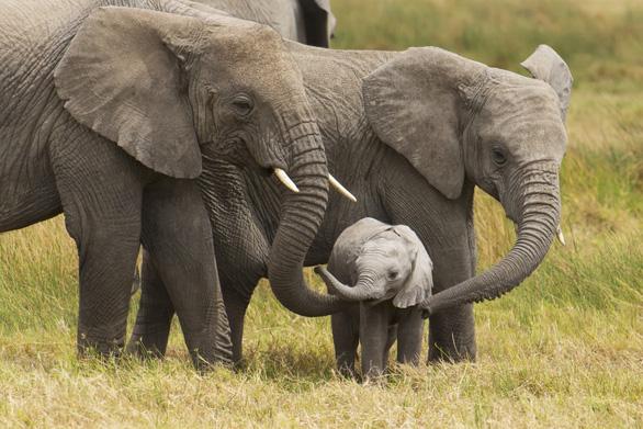 Cho săn lại, 130.000 voi ở Botswana vào tầm súng bắn giết - Ảnh 1.