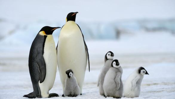 Chim cánh cụt hoàng đế cũng sắp bị tuyệt chủng - Ảnh 1.