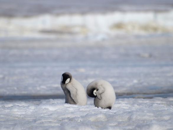 Chim cánh cụt hoàng đế cũng sắp bị tuyệt chủng - Ảnh 3.