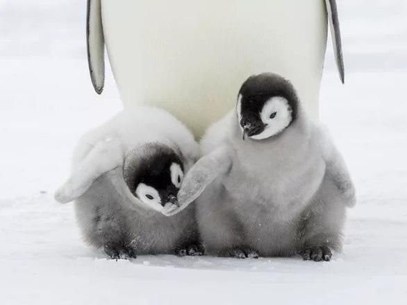 Chim cánh cụt hoàng đế cũng sắp bị tuyệt chủng - Ảnh 2.