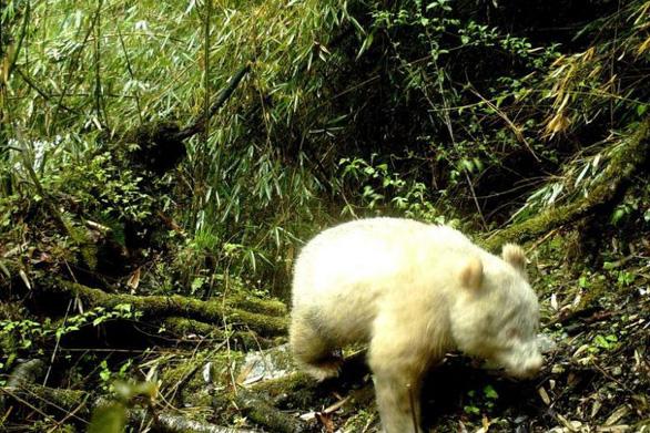 Phát hiện gấu trúc chỉ một màu trắng như gấu Bắc cực - Ảnh 1.