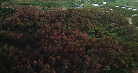 Bắt 3 nghi phạm hạ sát 3.500 cây thông 20 năm tuổi - Ảnh 2.