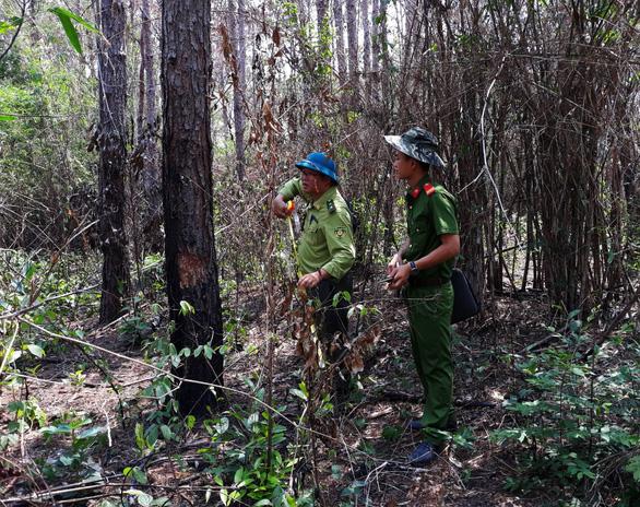 Bắt 3 nghi phạm hạ sát 3.500 cây thông 20 năm tuổi - Ảnh 1.