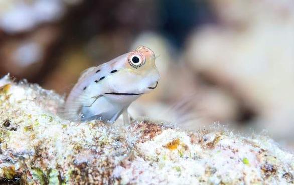 Loài cá nhỏ nhất thế giới 'cứu' những dải san hô - Ảnh 3.