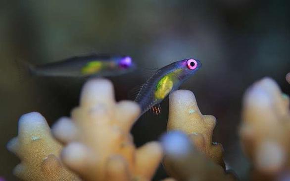 Loài cá nhỏ nhất thế giới 'cứu' những dải san hô - Ảnh 2.