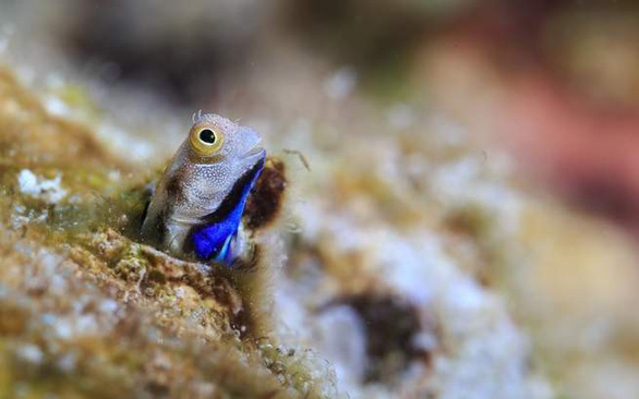 Loài cá nhỏ nhất thế giới 'cứu' những dải san hô - Ảnh 4.