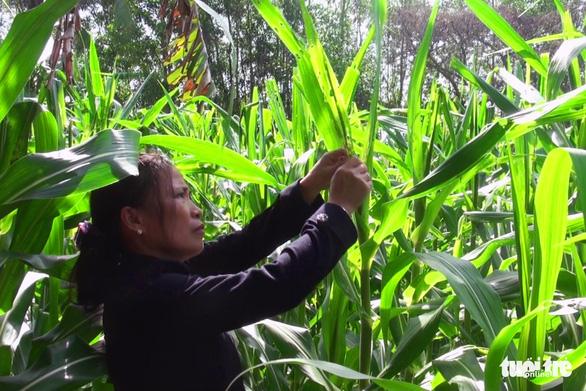 Sâu keo tấn công hàng trăm hecta bắp tại Đồng Nai - Ảnh 2.
