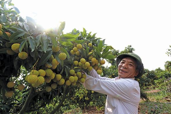 Vải thiều Lục Ngạn có mặt tại 700 điểm bán của Saigon Co.op - Ảnh 1.