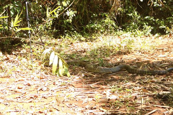 Cặp rắn hổ mây 'khủng' đã về rừng Đồng Nai - Ảnh 3.