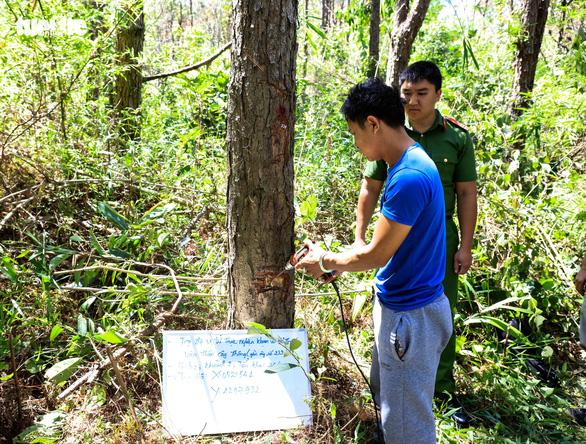 Hạ độc 3.500 cây thông: mỗi cây bị diệt chỉ trong một phút - Ảnh 2.
