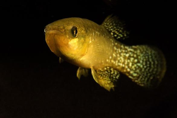 Phát hiện loài cá sống được trong nước ô nhiễm 1.000 lần - Ảnh 1.