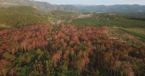 Hơn 3.500 cây thông trưởng thành ở Lâm Đồng bị hạ độc - Ảnh 1.