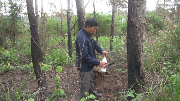 Hơn 3.500 cây thông trưởng thành ở Lâm Đồng bị hạ độc - Ảnh 2.