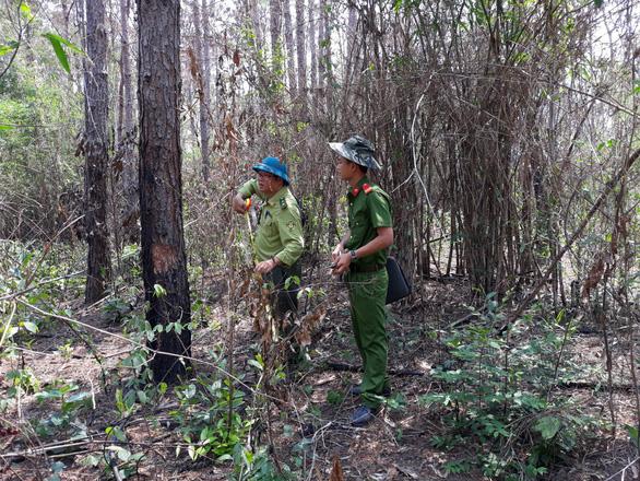 Hơn 3.500 cây thông trưởng thành ở Lâm Đồng bị hạ độc - Ảnh 3.