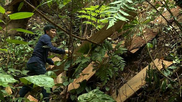 Khởi tố 5 lâm tặc cưa trộm gỗ quý tại lâm trường Trường Sơn - Ảnh 1.