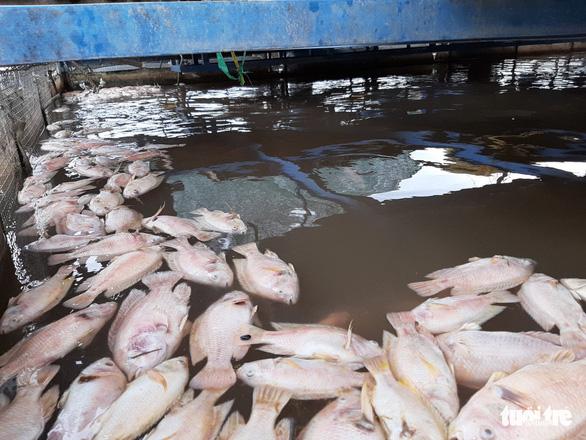Cá chết bất thường, chủ 3.000 lồng bè trên sông Tiền hoang mang - Ảnh 2.