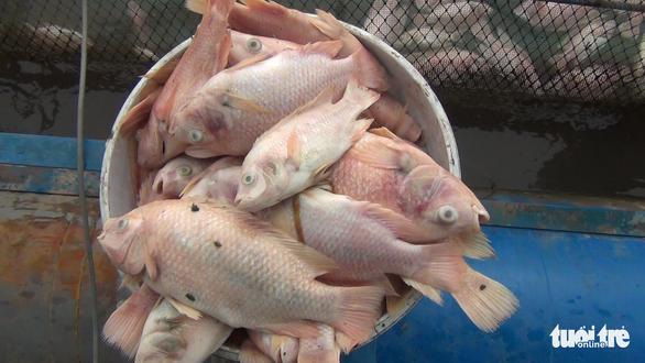Cá chết bất thường, chủ 3.000 lồng bè trên sông Tiền hoang mang - Ảnh 3.