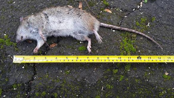 Chuột to khủng chạy đầy đường trong thị trấn ở New Zealand - Ảnh 1.