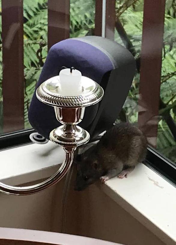 Chuột to khủng chạy đầy đường trong thị trấn ở New Zealand - Ảnh 2.