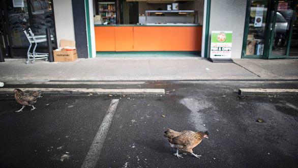 Chuột to khủng chạy đầy đường trong thị trấn ở New Zealand - Ảnh 3.