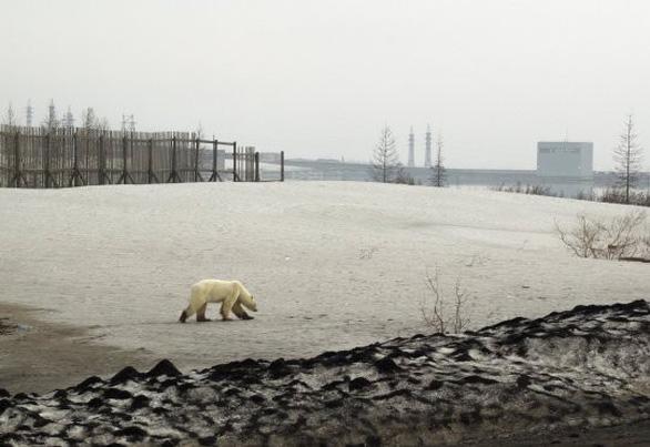 Đói lả và kiệt sức, gấu Bắc cực lê bước trên đường phố tìm thức ăn - Ảnh 4.