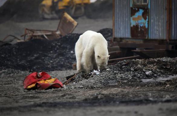 Đói lả và kiệt sức, gấu Bắc cực lê bước trên đường phố tìm thức ăn - Ảnh 5.
