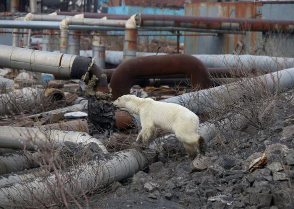 Đói lả và kiệt sức, gấu Bắc cực lê bước trên đường phố tìm thức ăn - Ảnh 3.