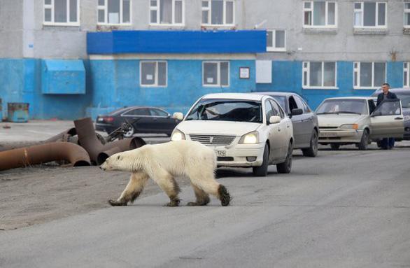 Đói lả và kiệt sức, gấu Bắc cực lê bước trên đường phố tìm thức ăn - Ảnh 2.