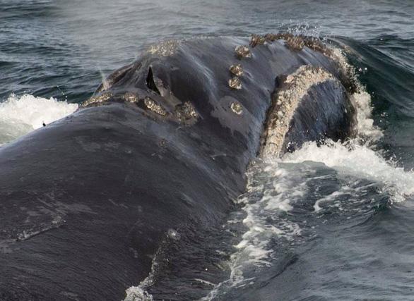 Lần đầu ghi được âm thanh của loài cá voi hiếm nhất thế giới - Ảnh 3.