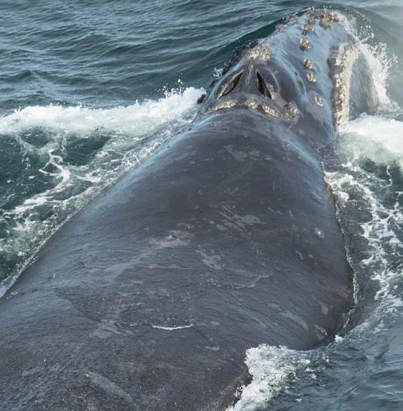 Lần đầu ghi được âm thanh của loài cá voi hiếm nhất thế giới - Ảnh 4.