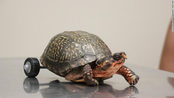 Bánh xe lăn sáng tạo cứu chú rùa khuyết tật - Ảnh 2.