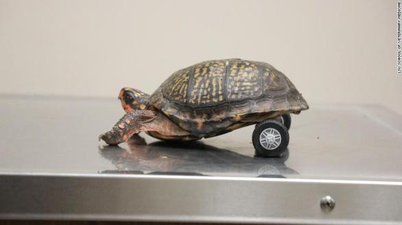Bánh xe lăn sáng tạo cứu chú rùa khuyết tật - Ảnh 3.