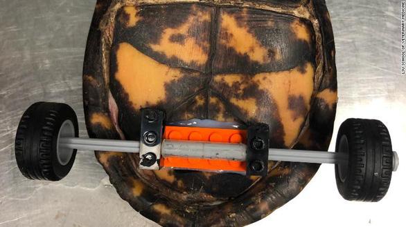 Bánh xe lăn sáng tạo cứu chú rùa khuyết tật - Ảnh 4.