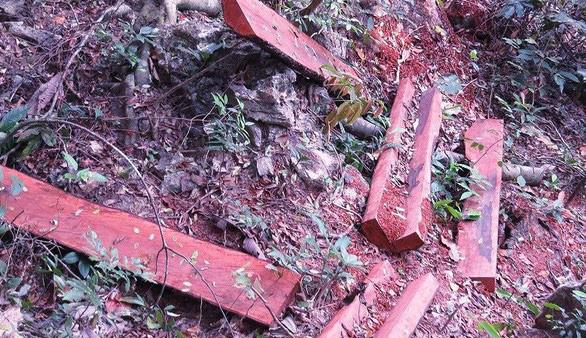 Để mất hơn 100 m3 gỗ quý, giám đốc vườn quốc gia bị đề nghị kiểm điểm - Ảnh 1.