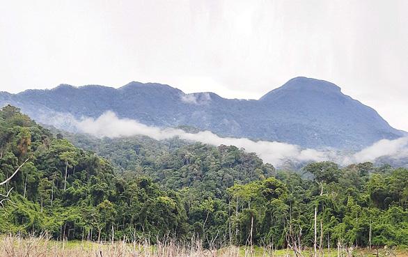 Phát hiện hơn 1.000ha rừng sâm ba kích tím tự nhiên - Ảnh 1.