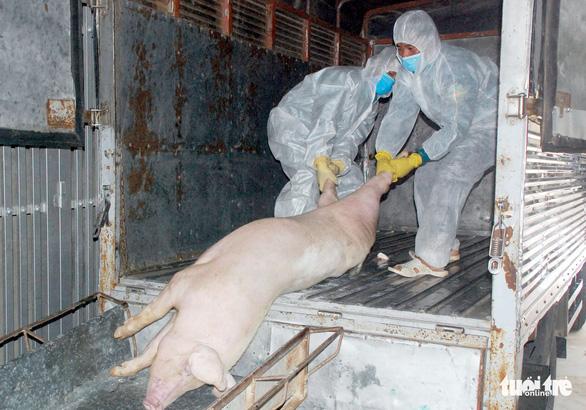 Nghệ An tiêu hủy 64 tấn heo dịch tả, chưa có kho cấp đông thịt - Ảnh 1.