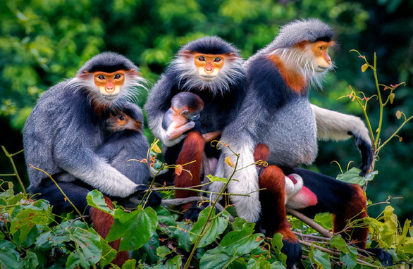 Ngắm voọc, khỉ, chim báu vật Sơn Trà - Ảnh 1.