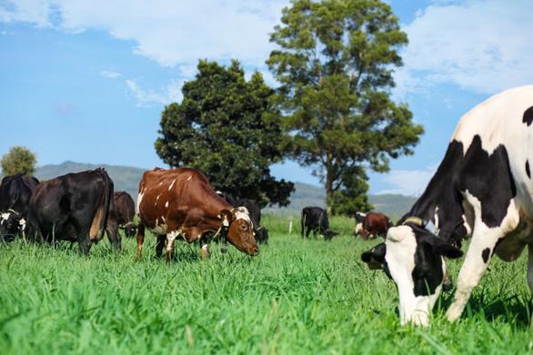 Ngạc nhiên nơi bò được chăm sóc bằng vườn thuốc nam - Ảnh 2.