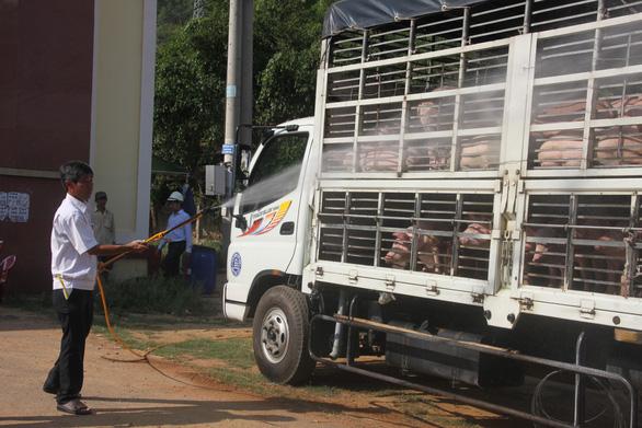 Heo nuôi trong chuồng không rõ dịch tả heo châu Phi xâm nhập từ đâu - Ảnh 1.