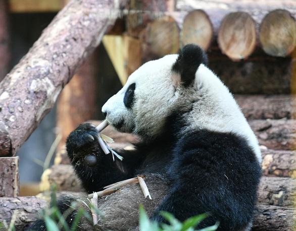 Ông Putin mỉm cười trước món quà gấu trúc của Trung Quốc - Ảnh 4.