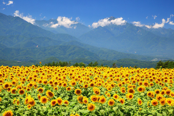 Tháng 8, lên đường ngắm hoa mặt trời - Ảnh 4.
