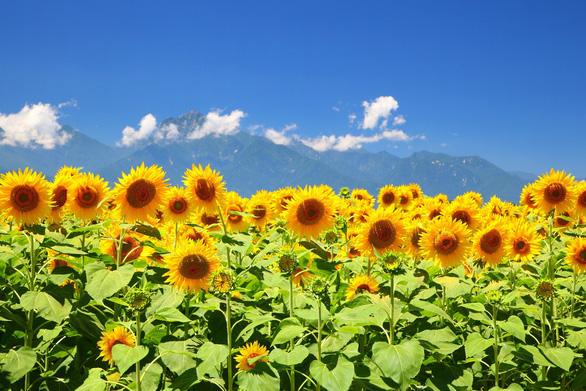 Tháng 8, lên đường ngắm hoa mặt trời - Ảnh 5.
