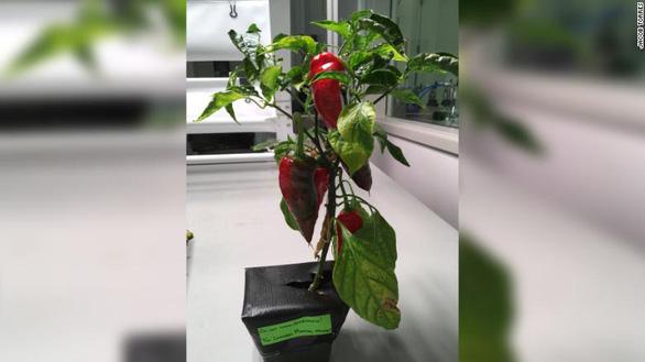 Cây ớt sẽ là cây ăn trái đầu tiên được trồng trong vũ trụ - Ảnh 2.