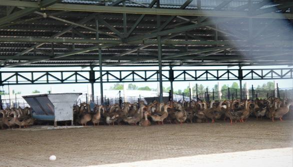 Bến Tre: Không chịu nổi ô nhiễm, người dân đào ống xả thải của trại vịt - Ảnh 3.
