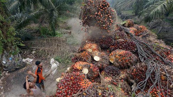 Indonesia trước nguy cơ mất thị trường dầu cọ chục tỉ USD từ EU - Ảnh 1.