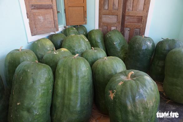Mỗi trái bí khổng lồ nặng... 50 kí, mỗi ngày bí lớn thêm.. 1 kí - Ảnh 2.