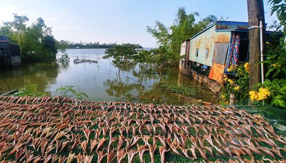 Cá lóc phơi khô trên đường về Hồng Ngự  - Ảnh 1.